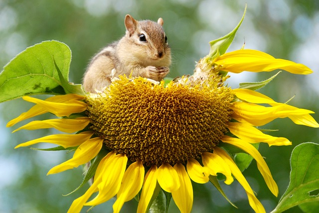 Chipmunk sitting on a sunflower head eating seeds.