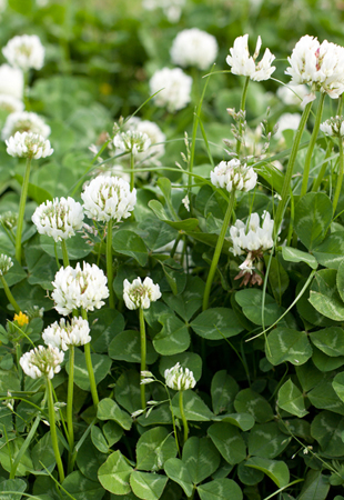 White Dutch Clover, Trifolium repens