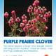 Photo of the front of the Purple Prairie Clover seed packet.