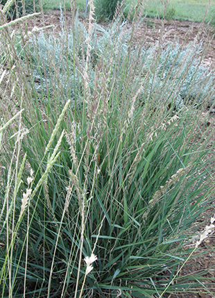 Sideoats Grama Grass