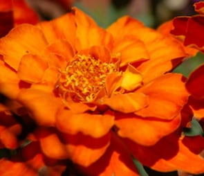 Orange double petaled flower for the 'annuals' catagory selection.