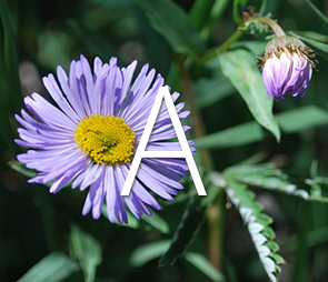 Thumbnail of Aster flower for all A products.