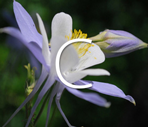 A picture of a Columbine bloom for products that begin with the letter c.
