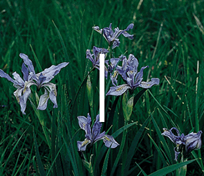 A picture of Iris blooms for products that begin with the letter i.