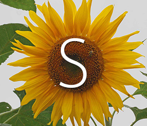 A picture of a sunflower bloom for products that begin with the letter s.