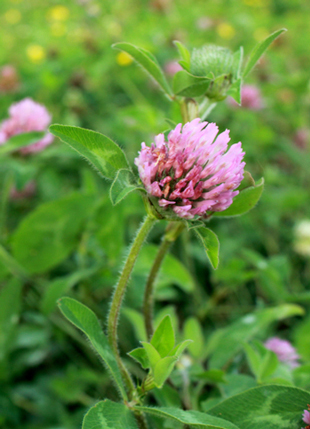 Pinkish blossom of Medium Red Clover.