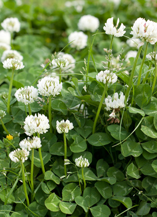 White Dutch Clover in bloom.