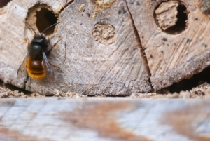 A cavity-nesting native bee.