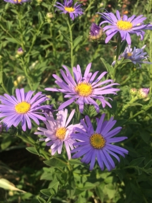 Photo of purple aster blooms.