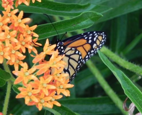 Photo of a Monarch Butterfly on orange milkweed blossom.