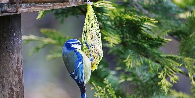 Photo of a Blue Tit Bird eating from a suet ball.