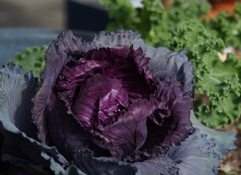 Photo of a growing head of purple cabbage.