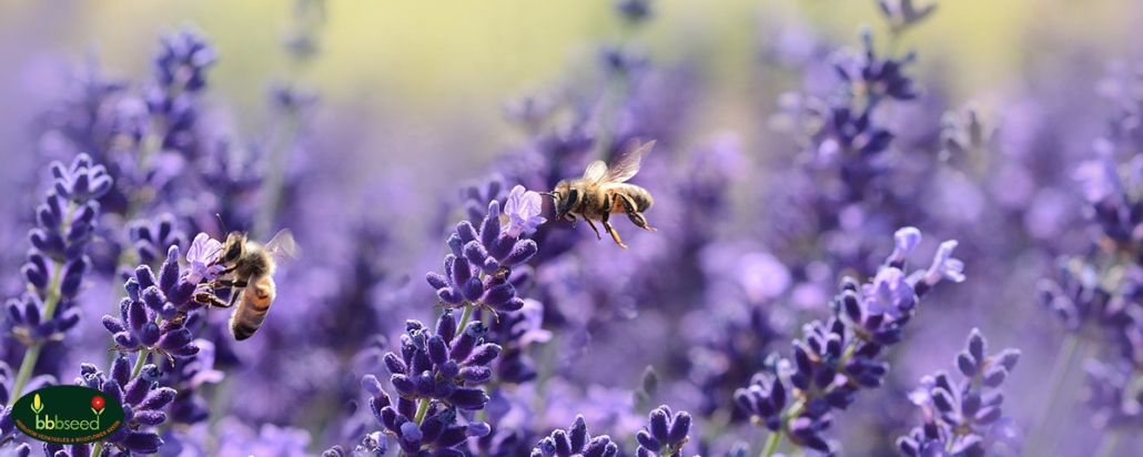 Honey bees on purple lavender blossoms.