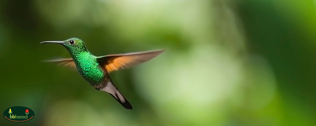 Green hummingbird in flight.